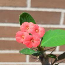 Euphorbia milii var. milii