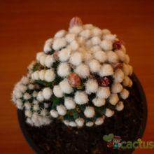 Mammillaria gracilis cv. oruga blanca