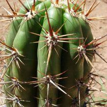 Echinopsis cuzcoensis