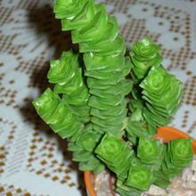 Crassula cv. Green Pagoda