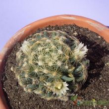Mammillaria schiedeana ssp. dumetorum