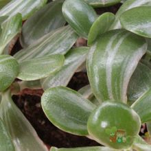 Crassula ovata fma. variegada