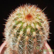 Espostoa lanata subsp. ruficeps