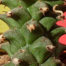 Euphorbia heteropodum