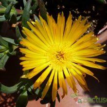 Lampranthus spectabilis