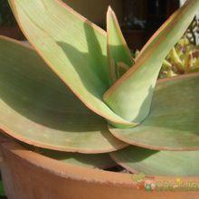 Aloe striata subsp. striata