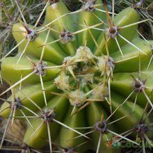 Echinopsis boyuibensis