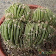 Echinopsis pachanoi fma. crestada
