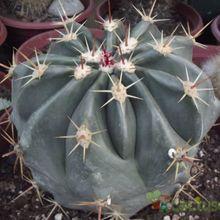 Ferocactus cylindraceus subsp. tortulispinus
