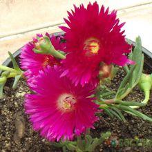 Lampranthus multiradiatus
