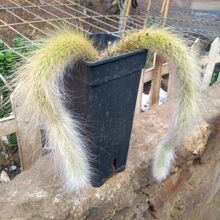 Winterocereus colademononis