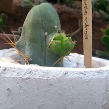 Echinopsis lageniformis fma. mostruosa