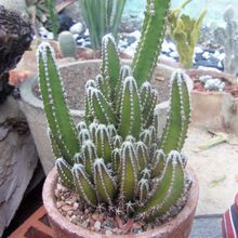 Acanthocereus tetragonus cv. fairy castle