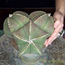 Astrophytum myriostigma fma. nudum
