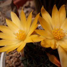 Mammillaria beneckei
