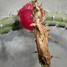 Harrisia tetracantha