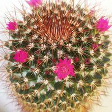 Mammillaria rhodantha ssp. rhodantha