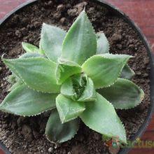 Haworthia mucronata var. habdomadis