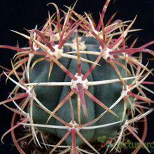 Ferocactus emoryi ssp. rectispinus