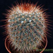 Mammillaria spinosissima ssp. spinosissima