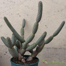 Tephrocactus diadematus
