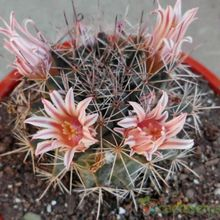 Mammillaria heyderi ssp. hemisphaerica