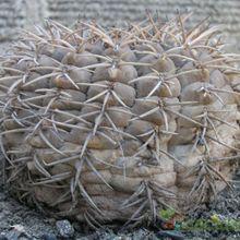 Gymnocalycium pugionacanthum