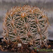 Coryphantha pseudoechinus