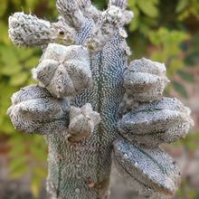 Astrophytum myriostigma cv. HUBOKI