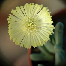 Cheiridopsis brownii