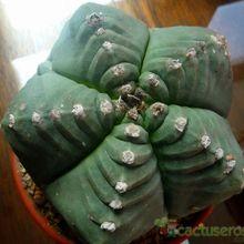 Astrophytum myriostigma cv. Kikko fma. nudum