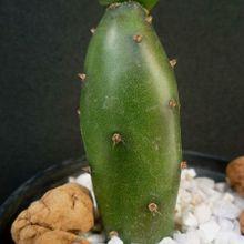 Opuntia canterae