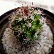 Mammillaria hutchisoniana