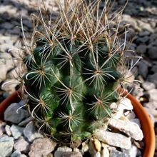 Sclerocactus scheeri