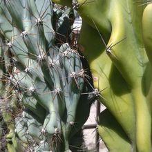 Cereus jamacaru fma. monstruosa