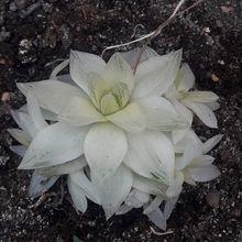 Haworthia cymbiformis fma. variegada