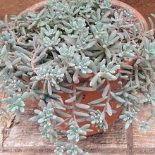 Sedum hispanicum cv. Blue Carpet