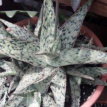 Aloe cv. pink blush