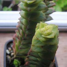 Crassula rupestris ssp. commutata fma. variegada