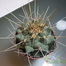 Thelocactus rinconensis ssp. freudenbergeri