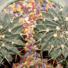 Parodia sellowii