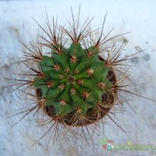 Echinopsis atacamensis ssp. pasacana