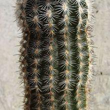 Echinocereus pseudopectinatus