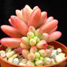 Sedum rubrotinctum cv. aurora