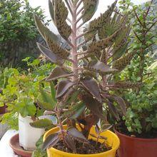 Bryophyllum x houghtonii