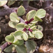 Portulacaria afra fma. variegada