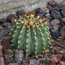 Ferocactus glaucescens fma. inermis